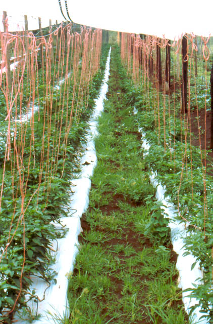 mulch weed vegetable farming tomatoes weed control
