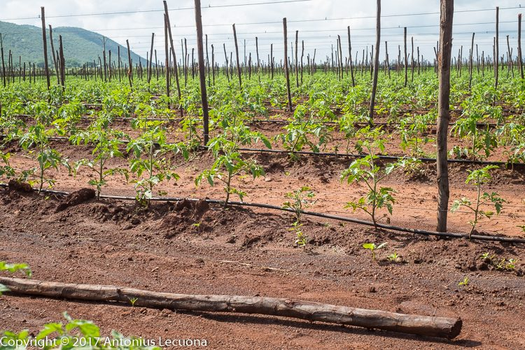 field grown tomato south africa determinate drip irrigation