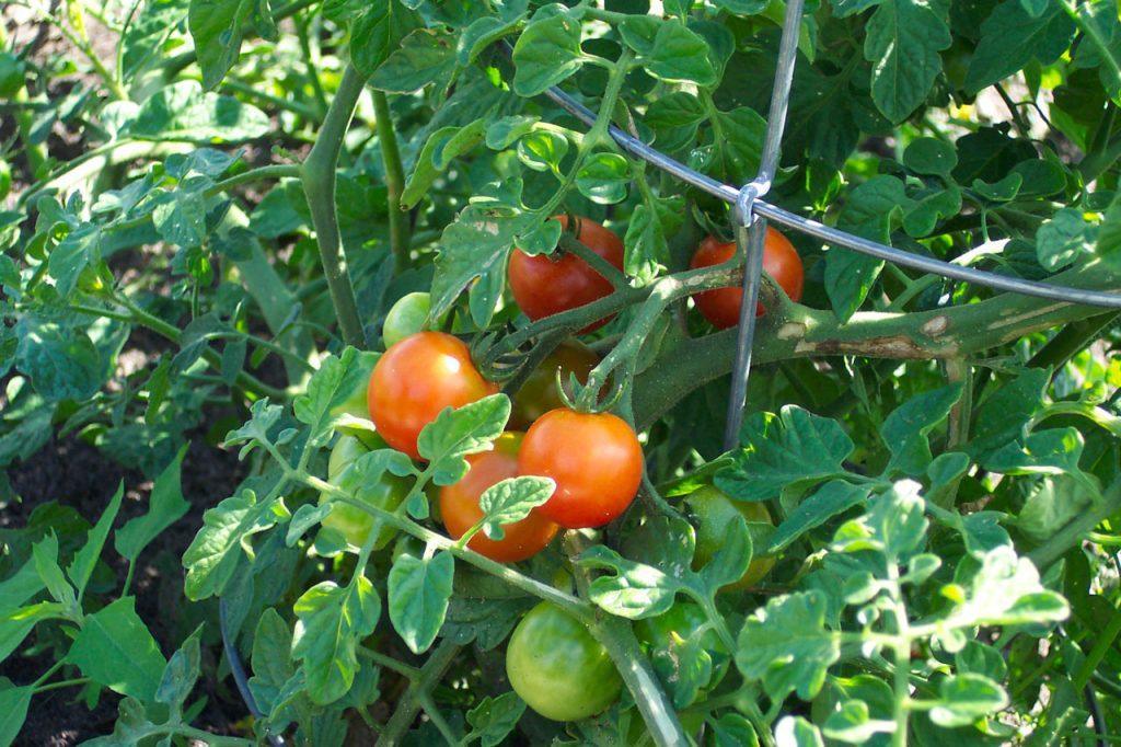 harvesting ripe field grown tomatoes