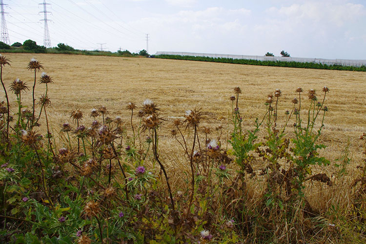 Problems caused by weeds in agriculture
