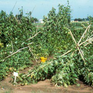 Green bean farm damaged by winds