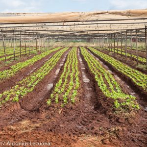lettuce farming field planting commercial pests diseases