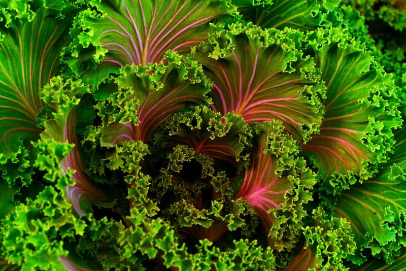 cos lettuce red heads leaves commercial farming