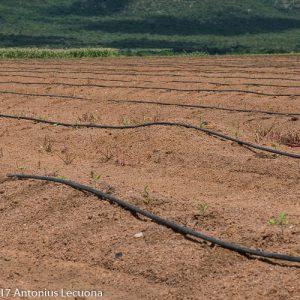irrigation green beans