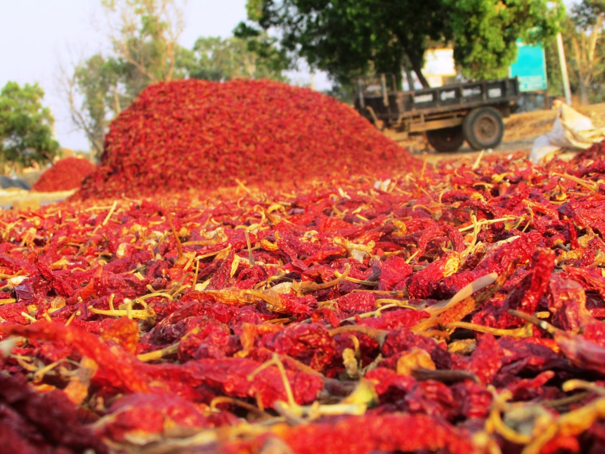 drying hot chilli peppers harvesting
