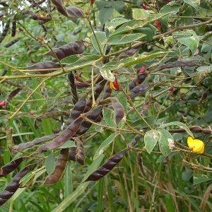 Cajanus cajan Fabaceae Leguminosae pigeon pea