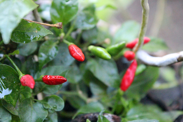 red hot chilli pepper fruit africa farming growth