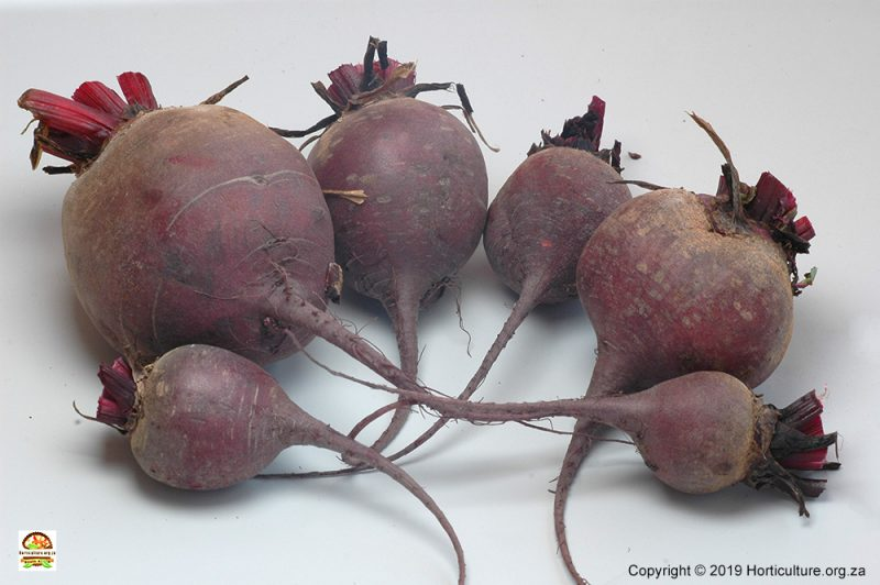 beetroot fruit bulb varieties cultivars quality harvest