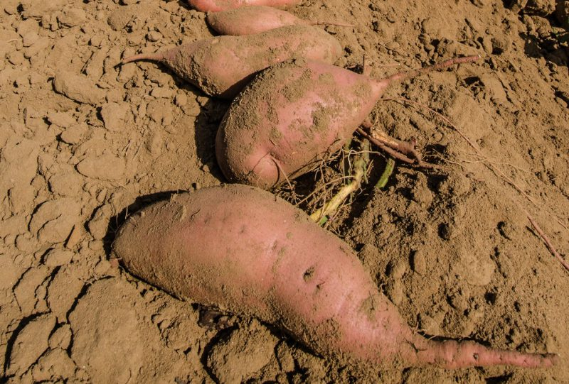 sweet potato fertilization