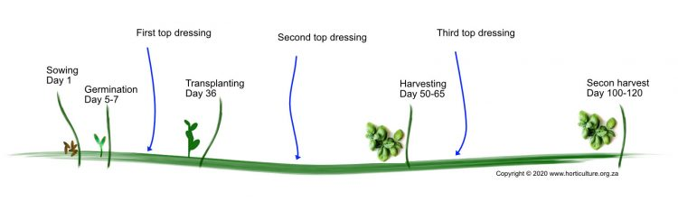 basil farming sowing to harvest explained
