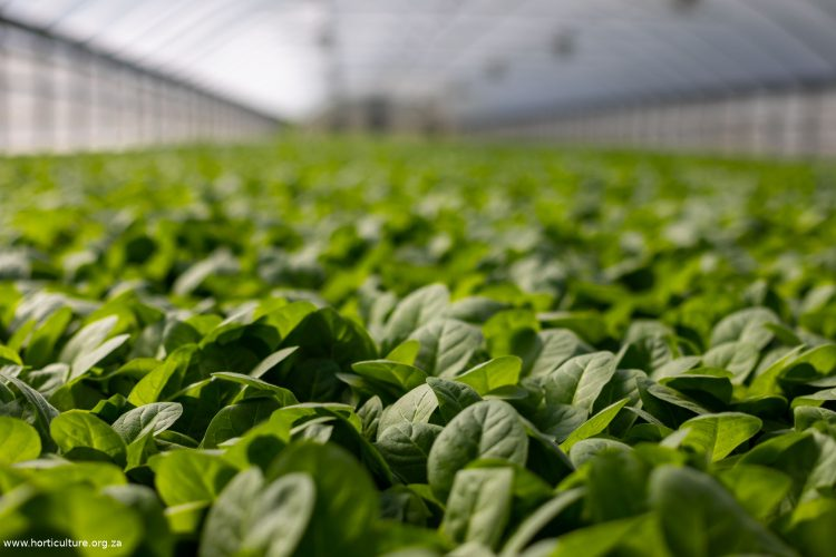 basil commercial farming greenhouse