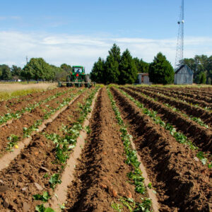 growing sweet potatoes africa